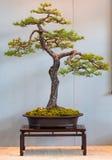 De pijnboom van Scoth als Bonsai Stock Fotografie
