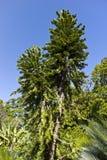 De Pijnboom van Wollemi Royalty-vrije Stock Foto