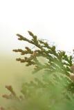 De pijnboom verlaat details Stock Foto's