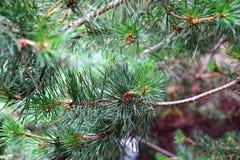 De pijnboom vertakt zich dicht Royalty-vrije Stock Foto's
