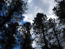 De pijnboombomen die als Regenwolken ontwikkelen verdonkeren zich royalty-vrije stock afbeelding