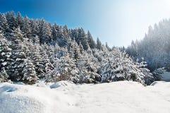 De pijnboombomen II van de winter Stock Afbeeldingen