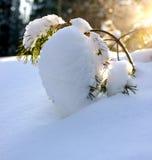 De pijnboomboom in de sneeuw Stock Afbeelding