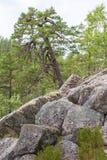 De pijnboomboom groeit in de rotsen stock foto
