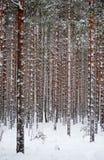 De pijnboombos van de winter met sneeuw Royalty-vrije Stock Foto