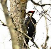 De Pileatedspecht verlaat een famliar rechthoekgat in een dode boom terwijl het zoeken van timmermansmieren stock fotografie