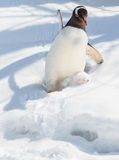 De Pinguïn die van Gentoo onderaan de sneeuw uitglijdt Royalty-vrije Stock Fotografie