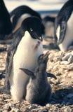 De Pinguïn en het Kuiken van Adelie Stock Foto