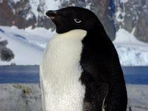 De pinguïn van Adelie stock afbeeldingen