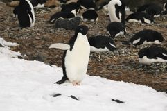 De pinguïn van Adelie Stock Foto's