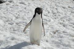 De pinguïn van Adelie Royalty-vrije Stock Foto