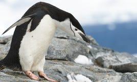 De Pinguïn van Chinstrap van de stokvoering stock foto