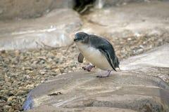 De Pinguïn van de fee Royalty-vrije Stock Foto