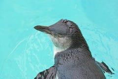 De Pinguïn van de fee (minderjarige Eudyptula) stock foto's