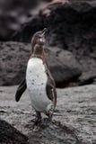 De pinguïn van de Galapagos stock afbeeldingen