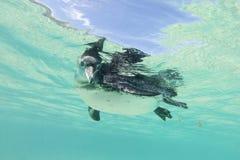 De pinguïn van de Galapagos onderwater zwemmen Galagapos, Ecuador Royalty-vrije Stock Foto's