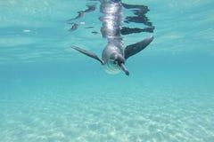 De pinguïn van de Galapagos onderwater zwemmen Galagapos, Ecuador Stock Afbeelding
