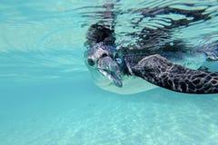 De pinguïn van de Galapagos onderwater zwemmen Galagapos, Ecuador Stock Fotografie