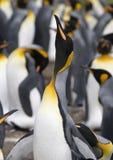 De pinguïn van de koning (patagonicus Aptenodytes) stock foto