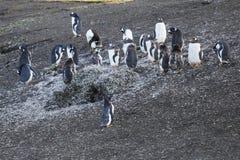 De pinguïn van Gentoo in Antarctica Stock Foto