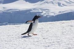 De pinguïn van Gentoo, Antarctica Royalty-vrije Stock Afbeeldingen