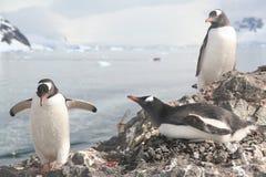 De pinguïn van Gentoo, die zijn partner op nest begroet Stock Foto