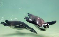De pinguïn van Humboldt Royalty-vrije Stock Foto