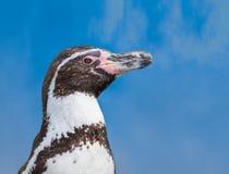 De pinguïn van Humboldt stock foto's