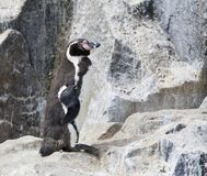 De pinguïn van Humboldt, spheniscushumboldti royalty-vrije stock fotografie