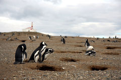 De pinguïn van Magellan Royalty-vrije Stock Fotografie