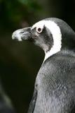 De Pinguïn van Magellan royalty-vrije stock foto's