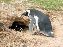 De pinguïn van Magellan stock foto's