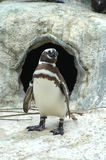 De pinguïn van Magellanic royalty-vrije stock afbeeldingen