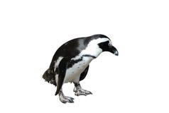 De Pinguïn van Magellanic die op Wit wordt geïsoleerdt Stock Fotografie
