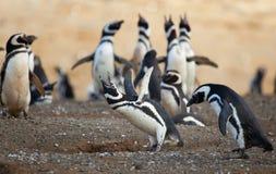 De pinguïn van Magellanic luid schreeuwen stock fotografie