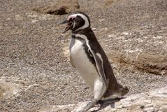 De Pinguïn van Magellanic in Patagonië Royalty-vrije Stock Afbeelding