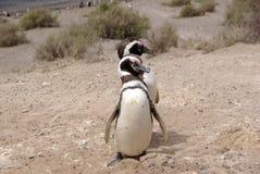 De Pinguïn van Magellanic in Patagonië Stock Afbeeldingen