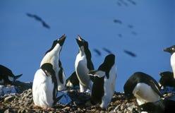 De pinguïnen van Adelie royalty-vrije stock afbeeldingen