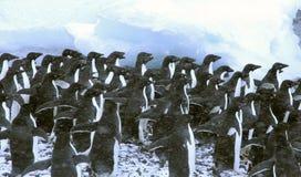 De pinguïnen van Adelie, overbevolkend de oever, die op eerste moedige wacht om binnen te duiken, Royalty-vrije Stock Fotografie