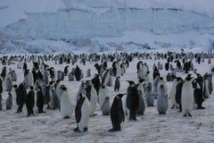 De pinguïnen van de keizer Stock Foto's