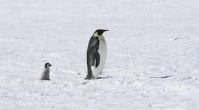 De pinguïnen van de keizer Stock Fotografie