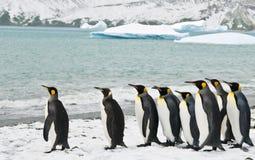 De Pinguïnen van de koning in een Ijzige Baai Stock Afbeeldingen