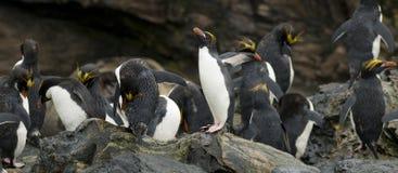 De Pinguïnen van de macaroni stock afbeeldingen