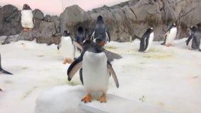 De pinguïnen van Gentoo stock video