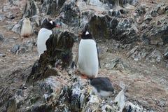 De pinguïnen van Gentoo Pinguïnkuiken Stock Foto's