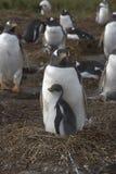 De pinguïnen van Gentoo (Pygoscelis Papoea) stock foto