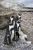 De pinguïnen van Humboldt Stock Foto