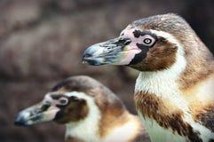 De pinguïnen van Humboldt royalty-vrije stock foto's