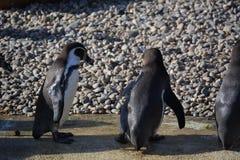 De pinguïnen van Humboldt Royalty-vrije Stock Afbeeldingen