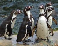 De pinguïnen van Humboldt Stock Fotografie